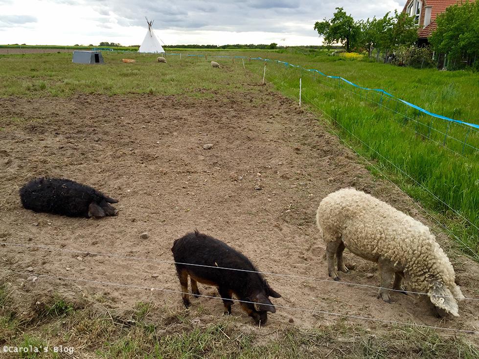 rk1-wollschweine